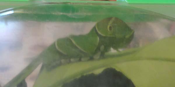 アゲハチョウの幼虫を飼ってみた。5齢幼虫がサナギになるまでの記録
