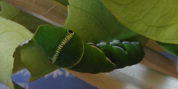 アゲハチョウの幼虫2匹目。幼虫からサナギに脱皮する動画の撮影に成功.