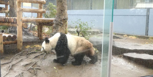 上野動物園・オスのパンダのリーリーが現れた!
