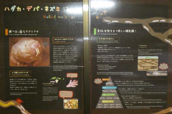 上野動物園にいるハダカデバネズミ。真社会性のほ乳類。不死身とも言われている。