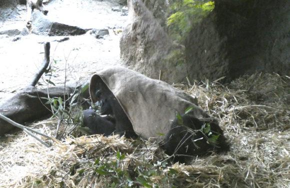 上野動物園のニシゴリラのメス。こちらも寒くて布を被っている