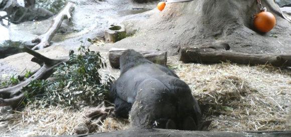 上野動物園のニシゴリラ。寒さに耐えるため手は胸元に。