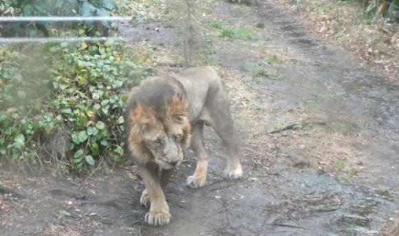 上野動物園のライオン。雨に濡れてたてがみがしっとりしていた