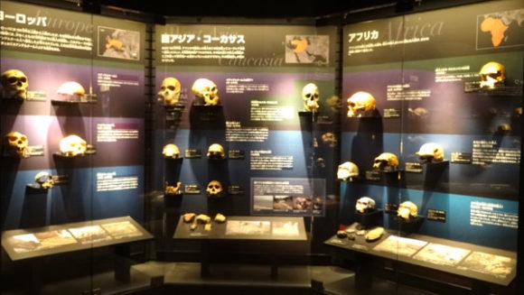 上野にある国立科学博物館の人類の進化に関連する展示