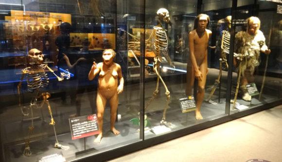 上野にある国立科学博物館の人類の進化に関する展示・ルーシーとトゥルカナボーイの骨格標本と復元模型