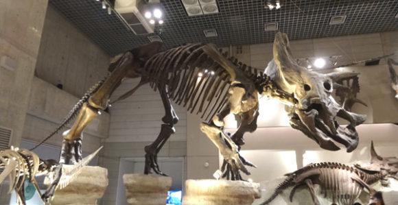 上野にある国立科学博物館の恐竜の化石の展示にあるトリケラトプス