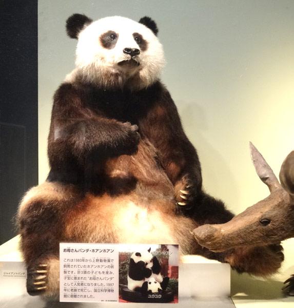上野にある国立科学博物館に展示されている上野動物園にいたパンダ、ホアンホアン